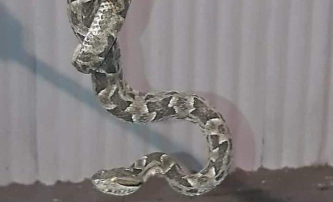 Serpientes en Alta Gracia