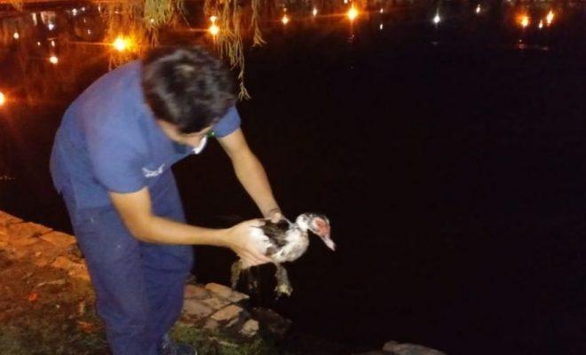 Indignación por el maltrato y muerte de un pato del Tajamar